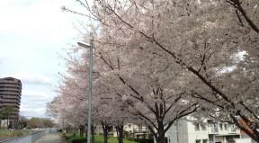 豊津中学校付近の堤防沿いの桜