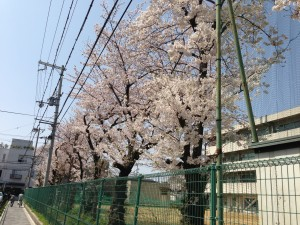 豊津西中学校のさくら(1)
