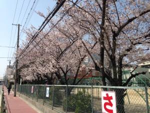 豊津第二小学校のさくら(1)