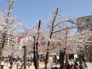 江坂公園のさくら(1)