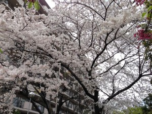 江坂・江の木 公園スカイハイツの桜