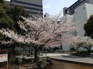 豊津公園の桜