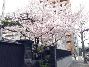 霊法会吹田講堂入口の桜