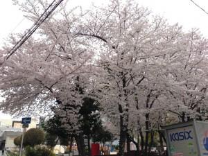 江の木公園の桜