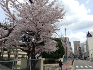 豊津第二小学校の桜