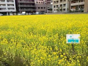 水土里ネットすいた 江坂町付近の菜の花畑