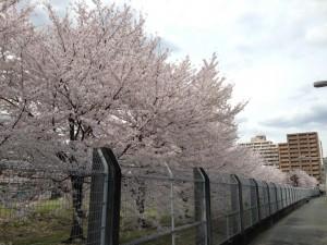 大日本住友製薬の桜