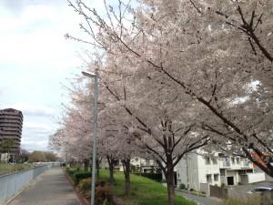 広芝橋付近の堤防沿いの桜