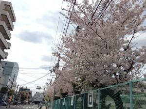 豊津西中学校の桜